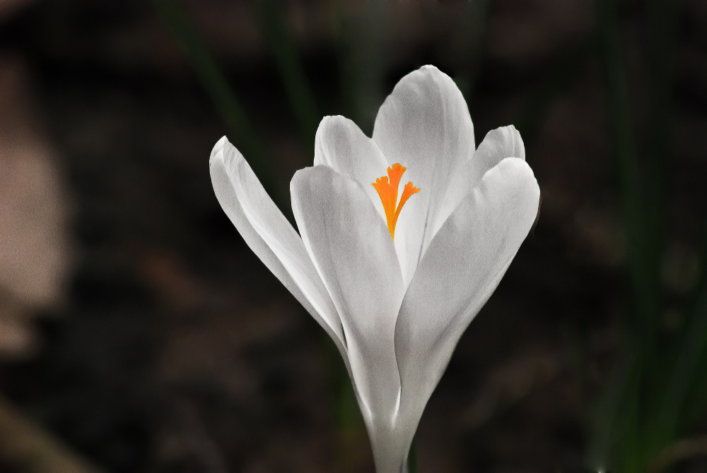 2 Quote A Flower Daily - Crocus Glow
