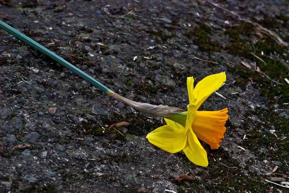 2 Quote A Flower Daily - Daffodil Down