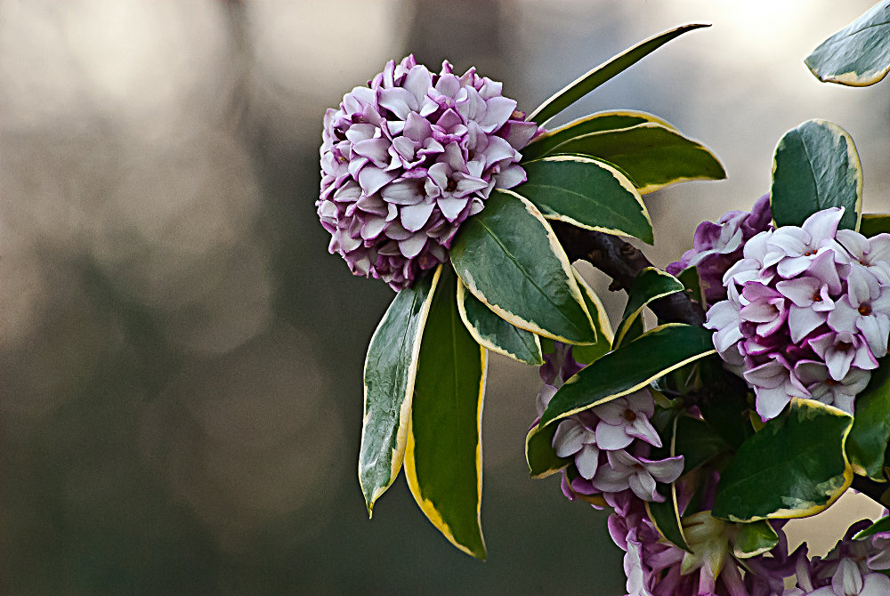 2 Quote A Flower Daily - Daphne