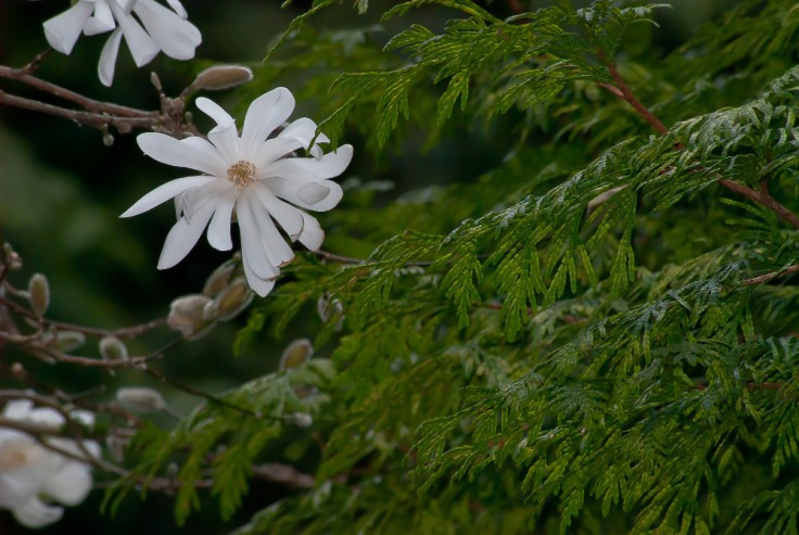 2 Quote A Flower Daily - Evergreen Star