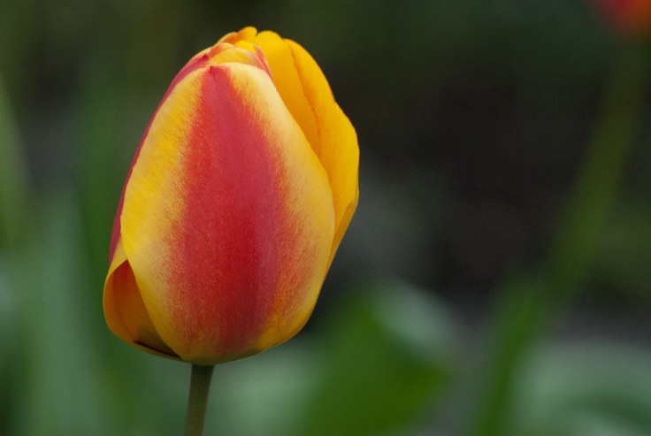 2 Quote A Flower Daily - Fire Tulip 02