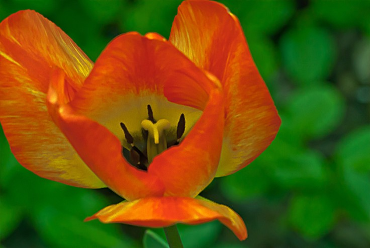 2 Quote A Flower Daily - Fire Tulip