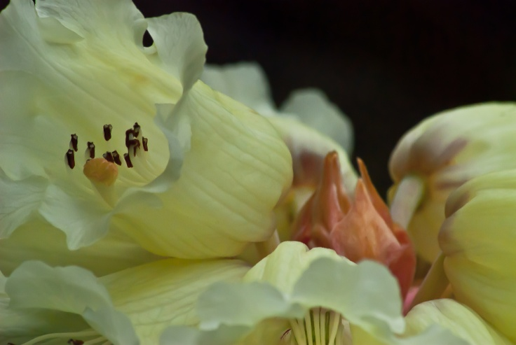 2 Quote A Flower Daily - Rhododendron Macabeanum