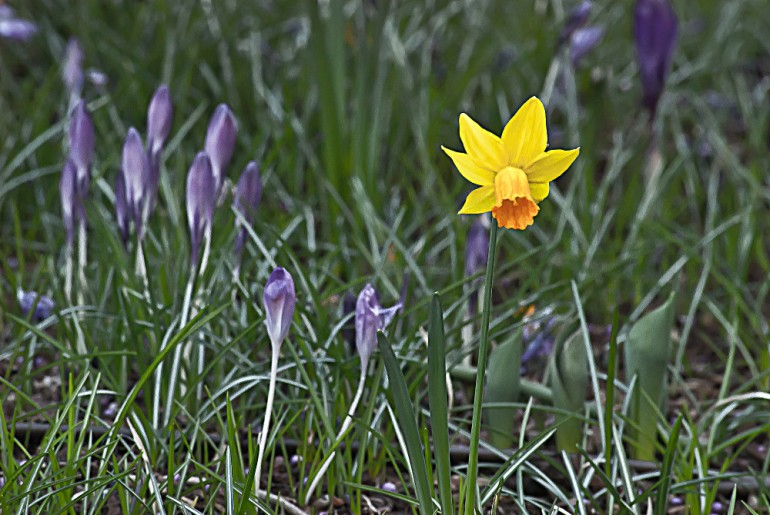 2 Quote A Flower Daily - Jonquil and Crocus 03