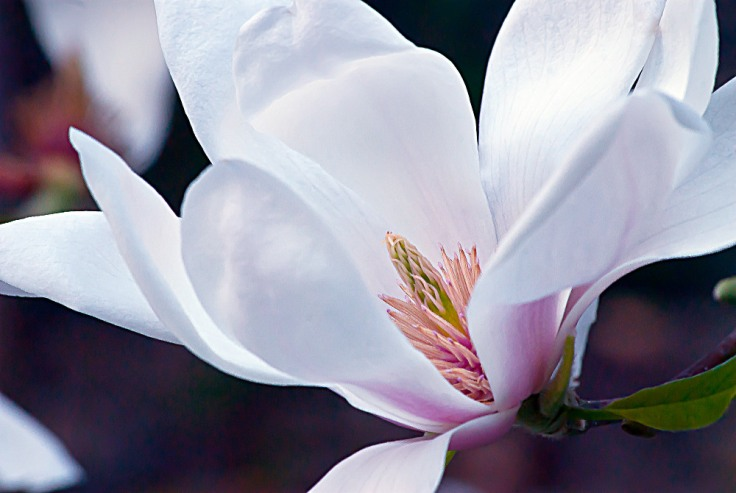 2 Quote A Flower Daily - Magnolia Arrow