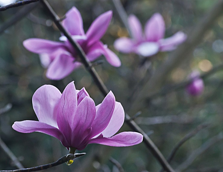 2 Quote A Flower Daily - Magnolia Flowers