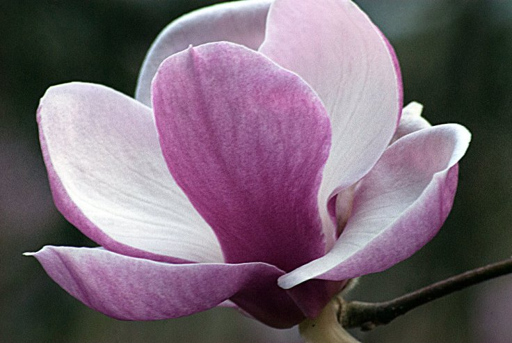 2 Quote A Flower Daily - Magnolia Petals