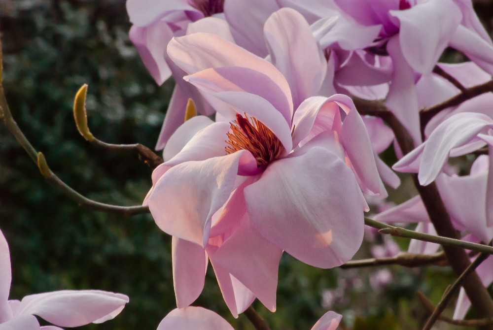 2 Quote A Flower Daily - Magnolia Sunrise