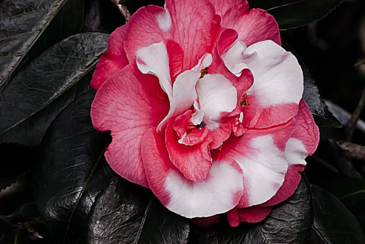 2 Quote A Flower Daily - Marble Camellia