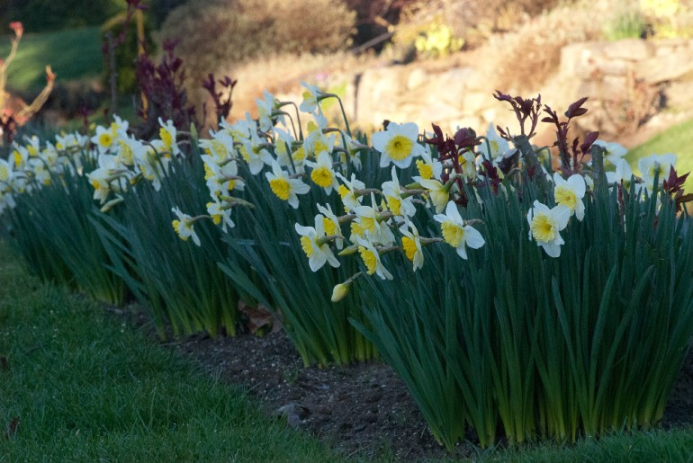 2 Quote A Flower Daily - Narcissus Row