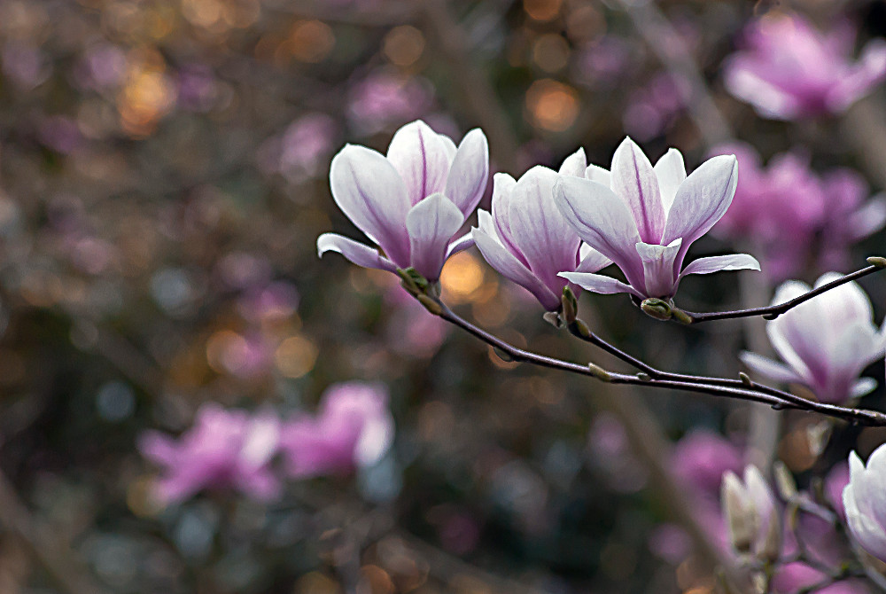 2 Quote A Flower Daily - Noble Magnolias