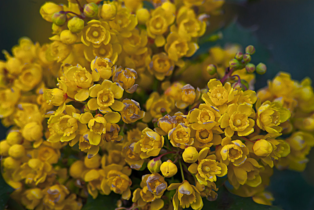 2 Quote A Flower Daily - Oregon Grape 02