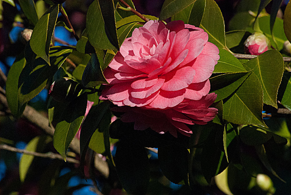 2 Quote A Flower Daily - Peach Camellia