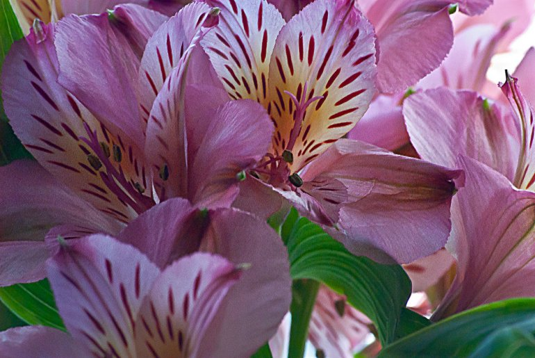 2 Quote A Flower Daily - Pink Peruvian Lily