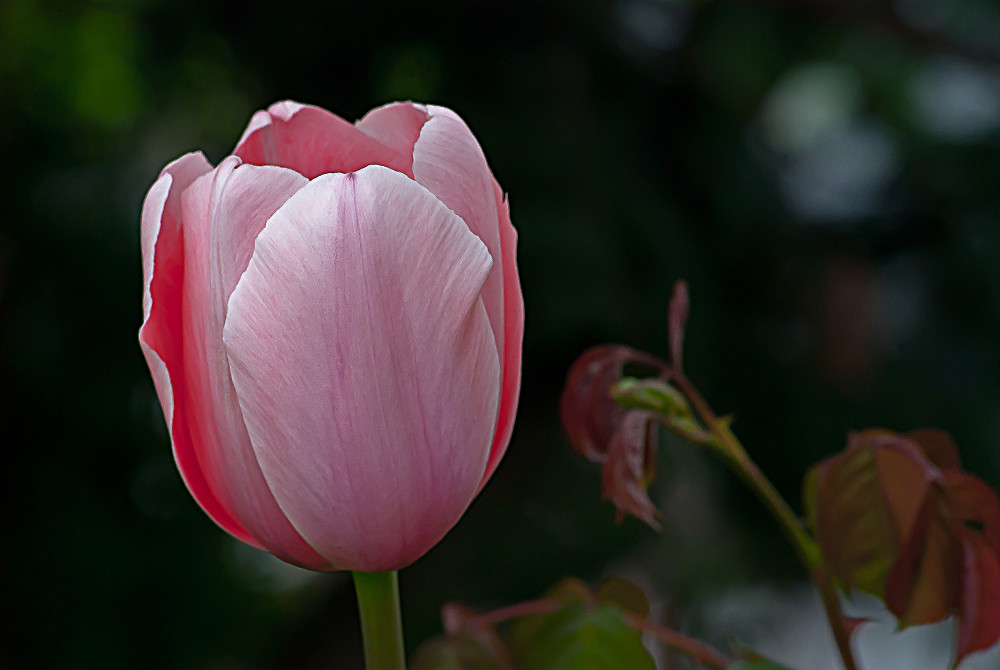 2 Quote A Flower Daily - Pink Tulip