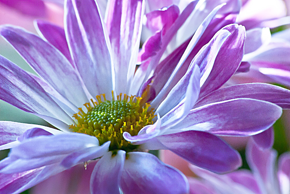 2 Quote A Flower Daily - Purple Daisy 01