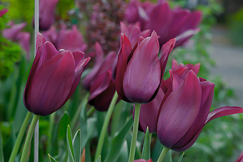 2 Quote A Flower Daily - Purple Tulip