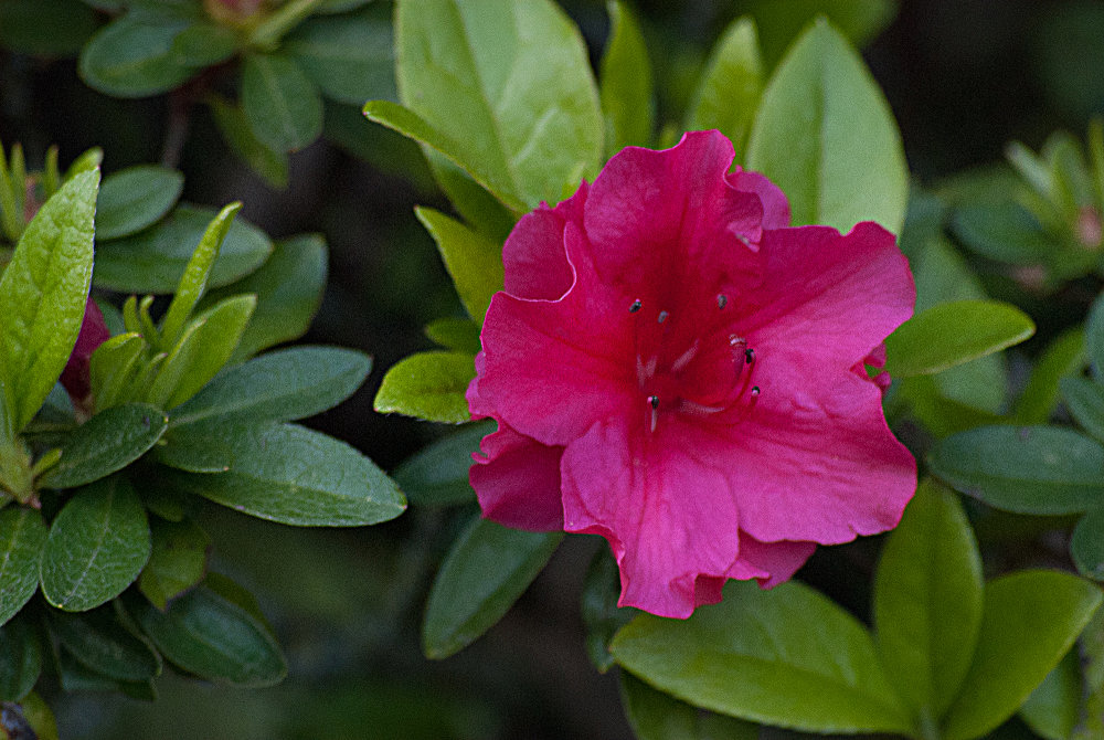 2 Quote A Flower Daily - Red Azalea