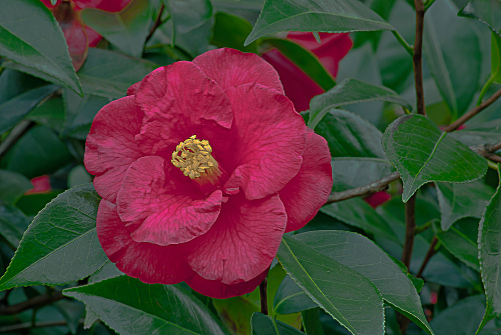 2 Quote A Flower Daily - Red Camellia 01