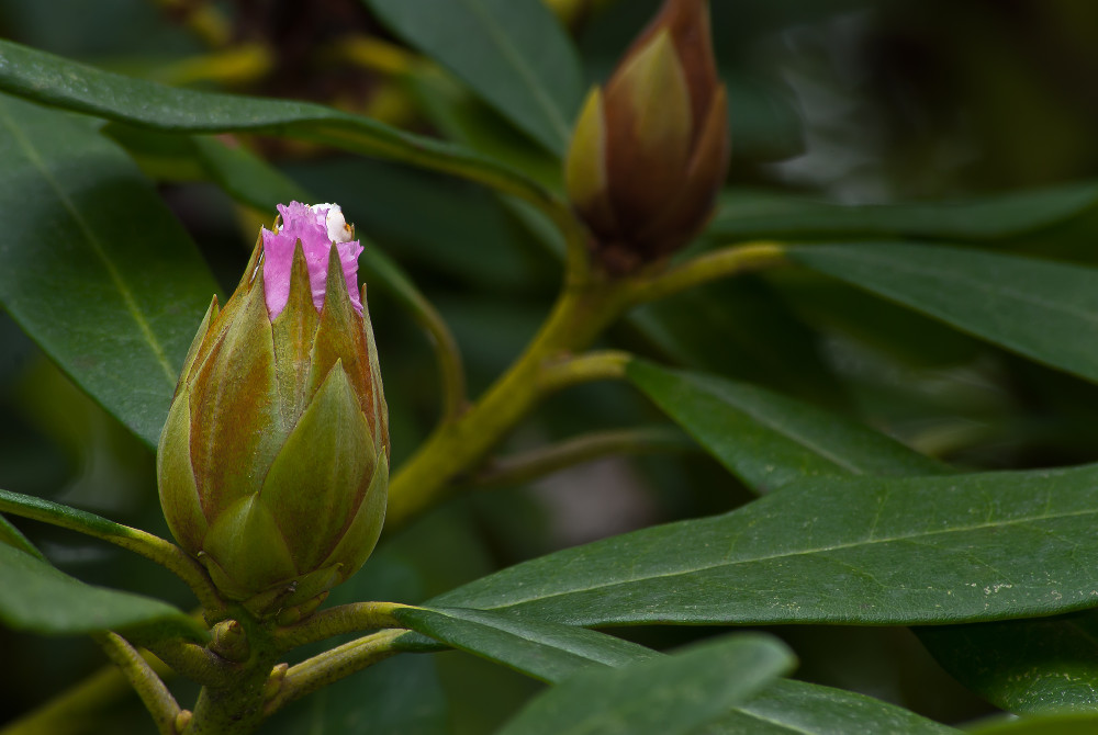 2 Quote A Flower Daily - Rhododendron Bud