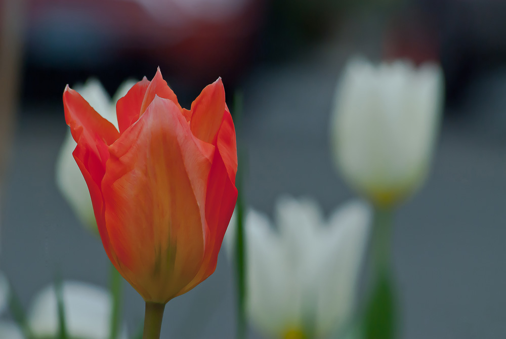 2 Quote A Flower Daily - Salmon Tulip
