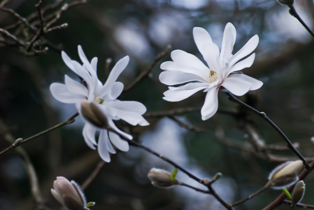 2 Quote A Flower Daily - Star Magnolia 02