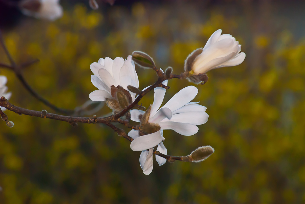 2 Quote A Flower Daily - Star Magnolia Yellow Background