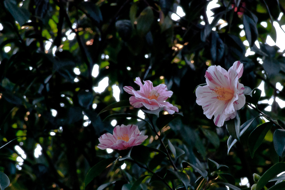 2 Quote A Flower Daily - Three Camellias