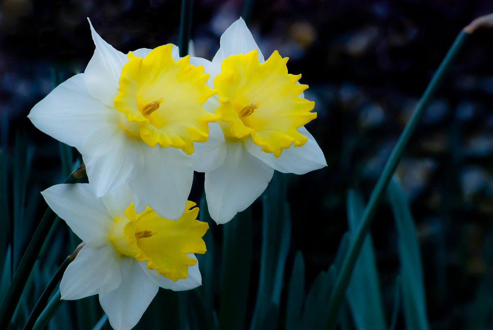 2 Quote A Flower Daily - Three Narcissus