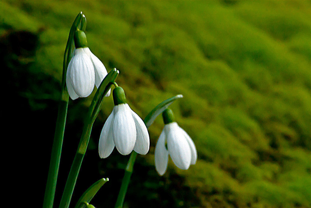 2 Quote A Flower Daily - Three Snowdrops