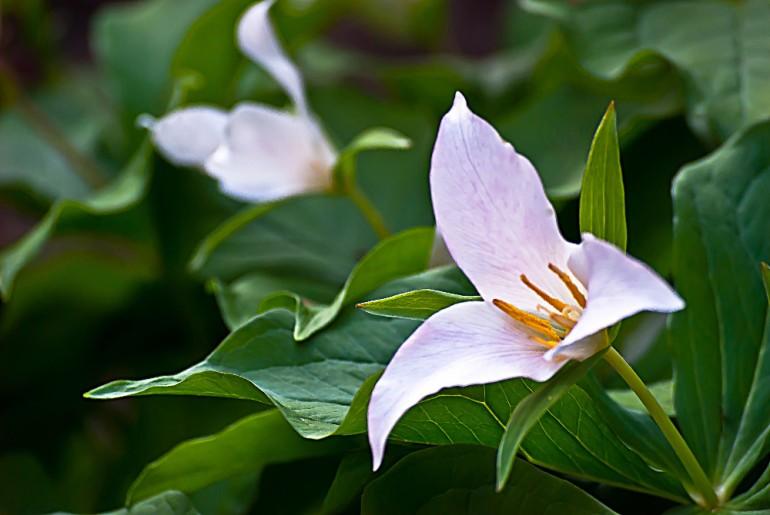 2 Quote A Flower Daily - Trillium Closeup