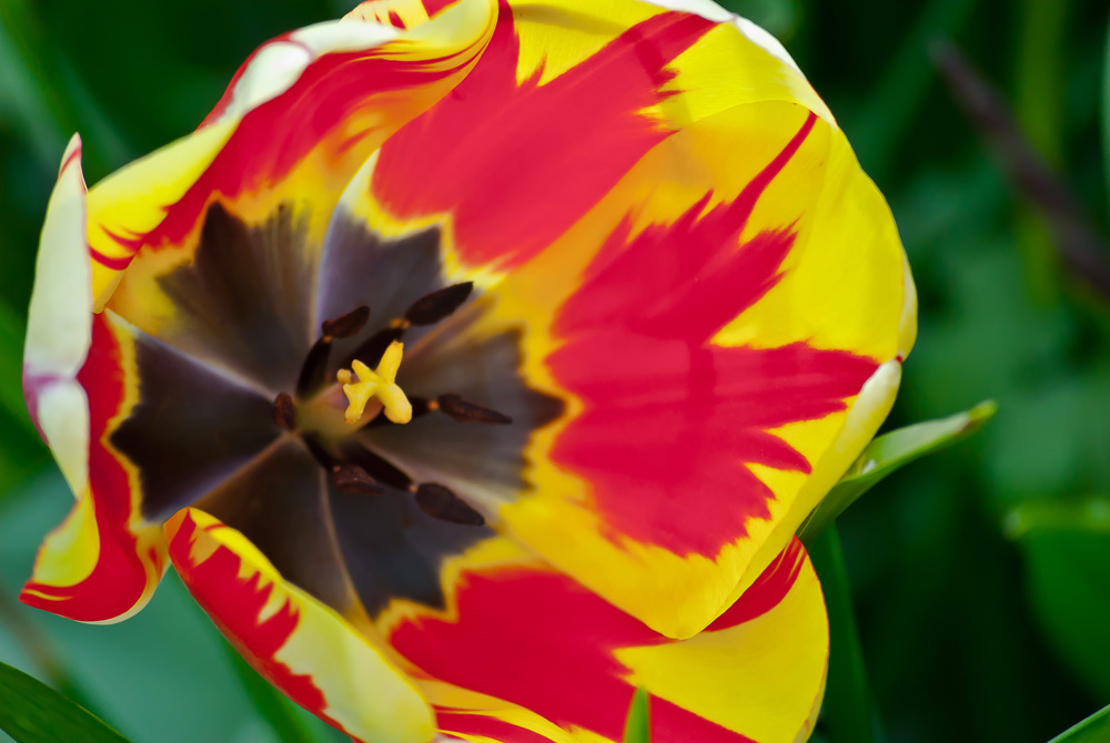 2 Quote A Flower Daily - Tulip On Fire