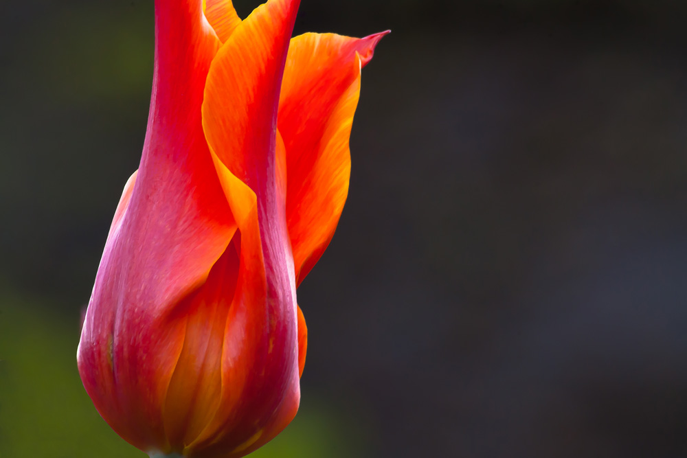 2 Quote A Flower Daily - Tulip Sunlight