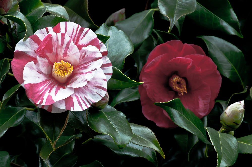 2 Quote A Flower Daily - Two Camellias