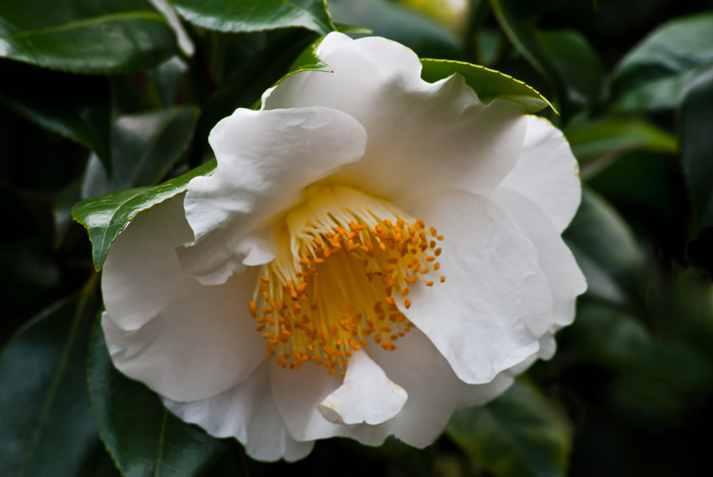 2 Quote A Flower Daily - White and Yellow Camellia 01