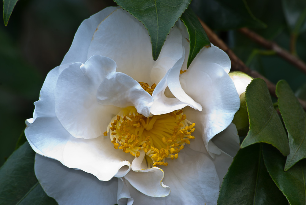 2 Quote A Flower Daily - White Camellia