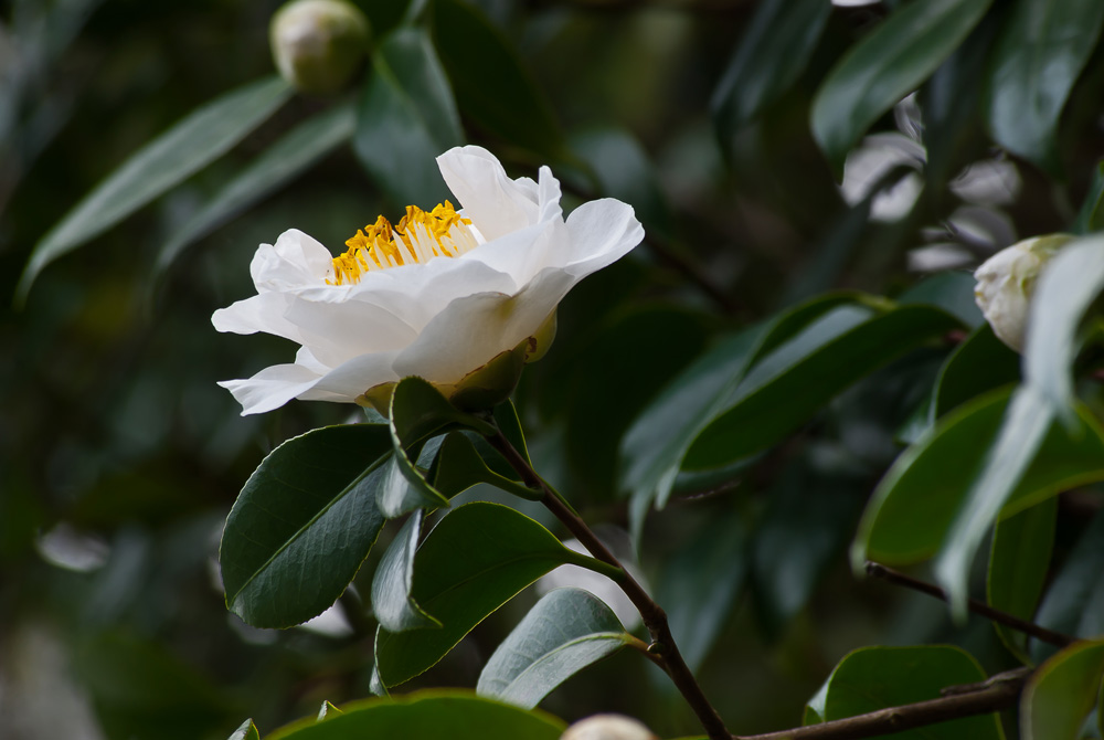 2 Quote A Flower Daily - White Camellia 03