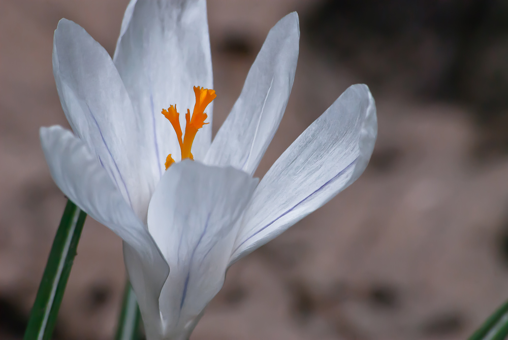 2 Quote A Flower Daily - White Crocus 04