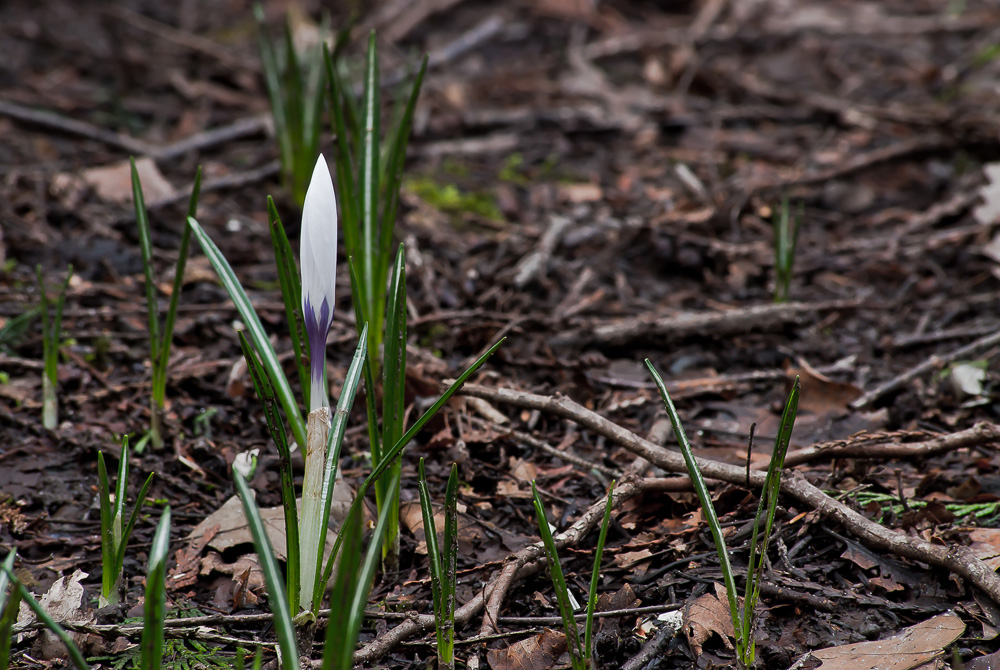 2 Quote A Flower Daily - White Crocus