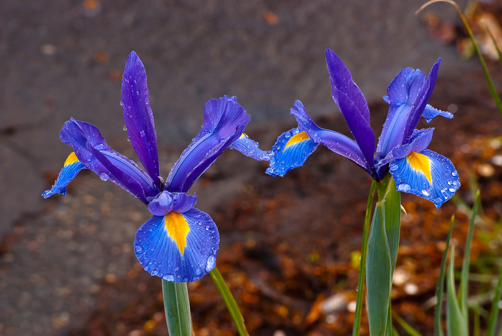 2 Quote A Flower Daily - Blue Iris Germanica