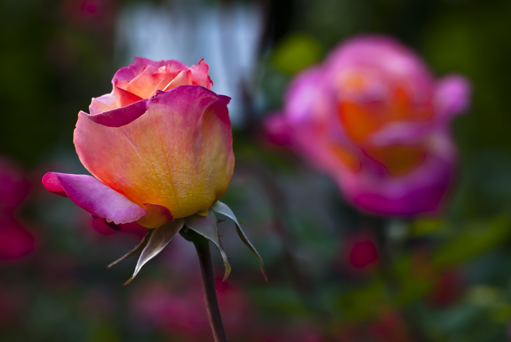 2 Quote A Flower Daily - Braodway Rose