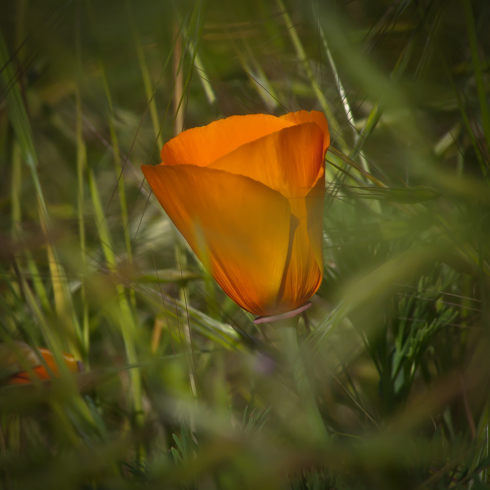 2 Quote A Flower Daily - California Poppy Square