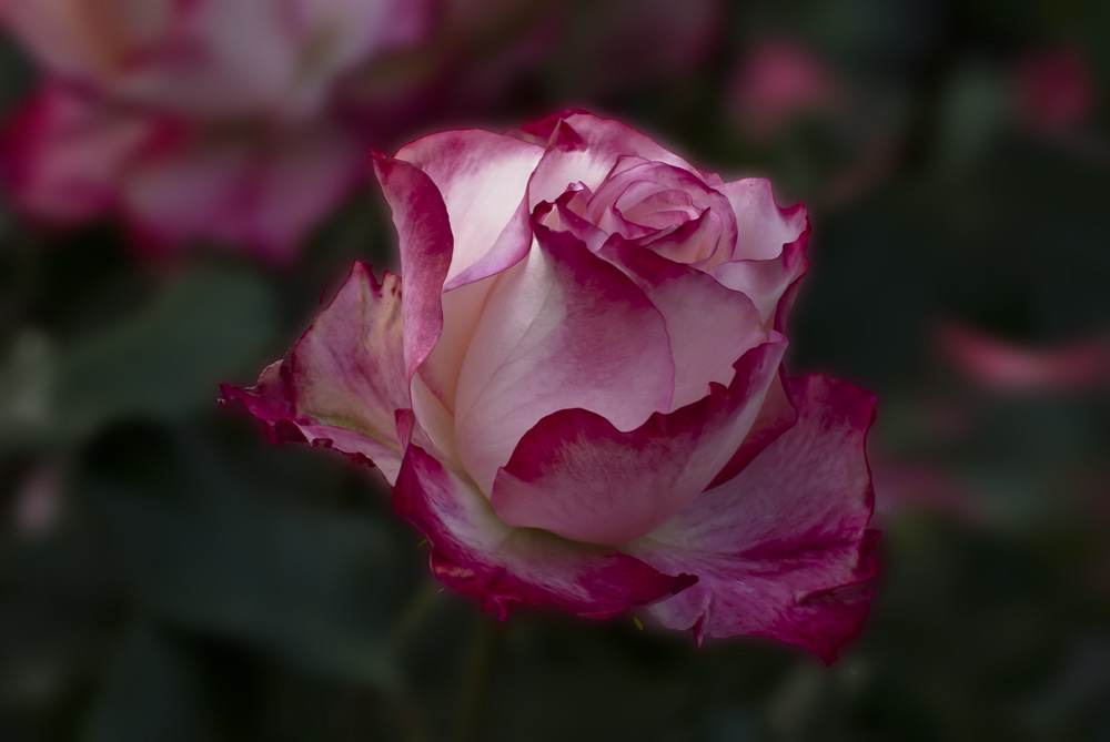 2 Quote A Flower Daily - Cherry Parfait Rose Bud 02