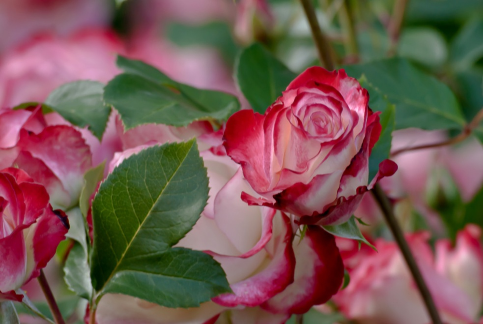 2 Quote A Flower Daily - Cherry Parfait Rose Bud