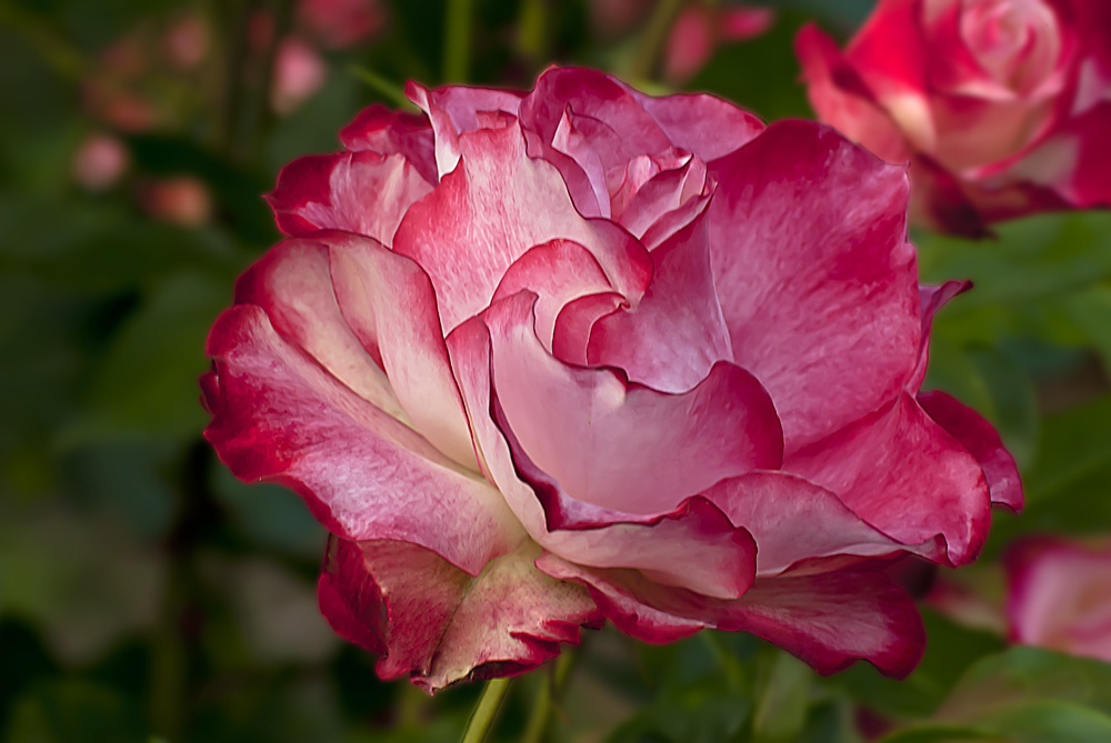 2 Quote A Flower Daily - Cherry Parfait Rose