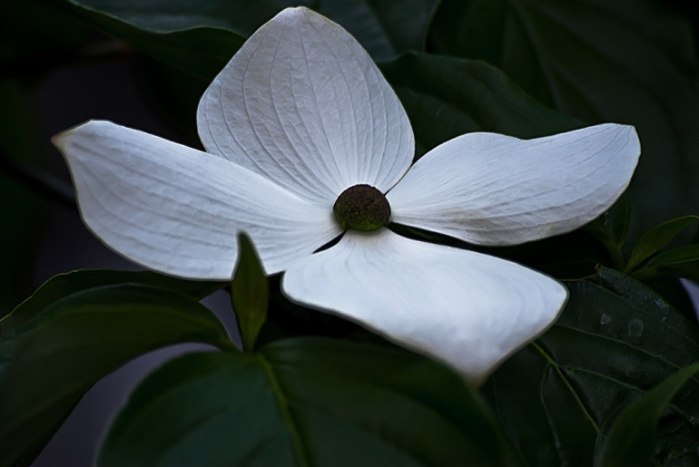 2 Quote A Flower Daily - Chinese Dogwood