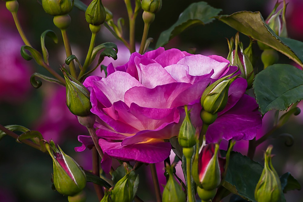 2 Quote A Flower Daily - Cutta the Blue Pink Rose