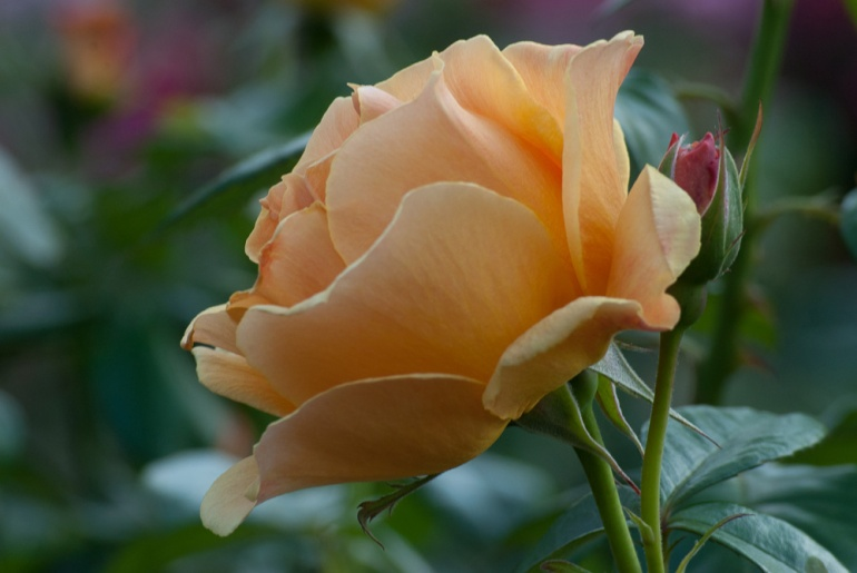2 Quote A Flower Daily - Easy Going Rose