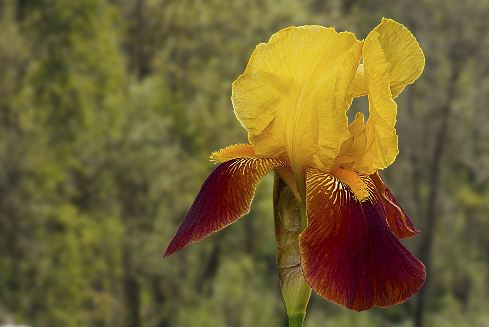 2 Quote A Flower Daily - Gold Bearded Iris