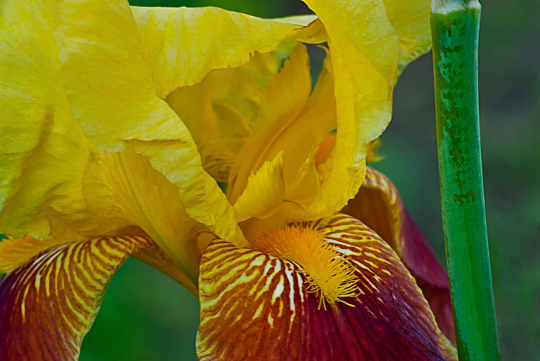 2 Quote A Flower Daily - Golden Bearded Iris